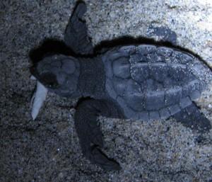 baby turtle escobilla2