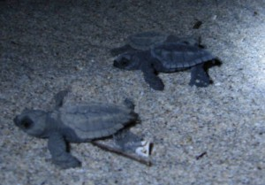 baby turtles escobilla