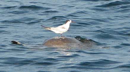 bird riding sea turtle