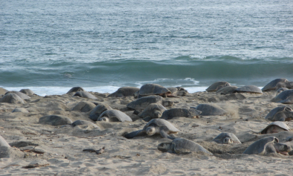 Olive Ridley Sea Turtles Nesting