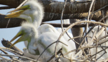 Baby Egrets in Nest