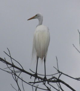 Great Snow Egret